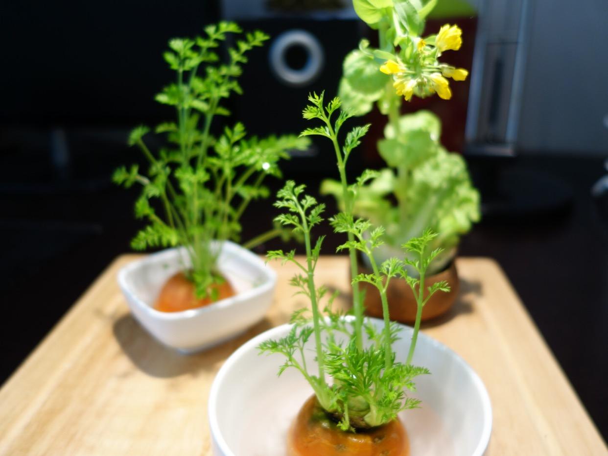 青菜生长过程图解