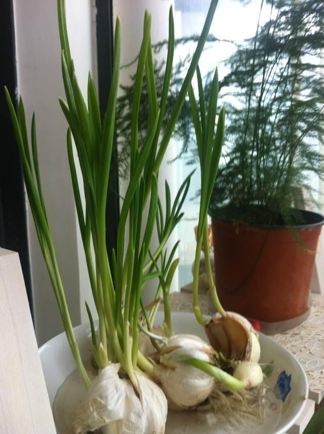 蒜的盆栽种植方法 香菜的种植方法和时间 盆栽大蒜的种植方法 菠菜的